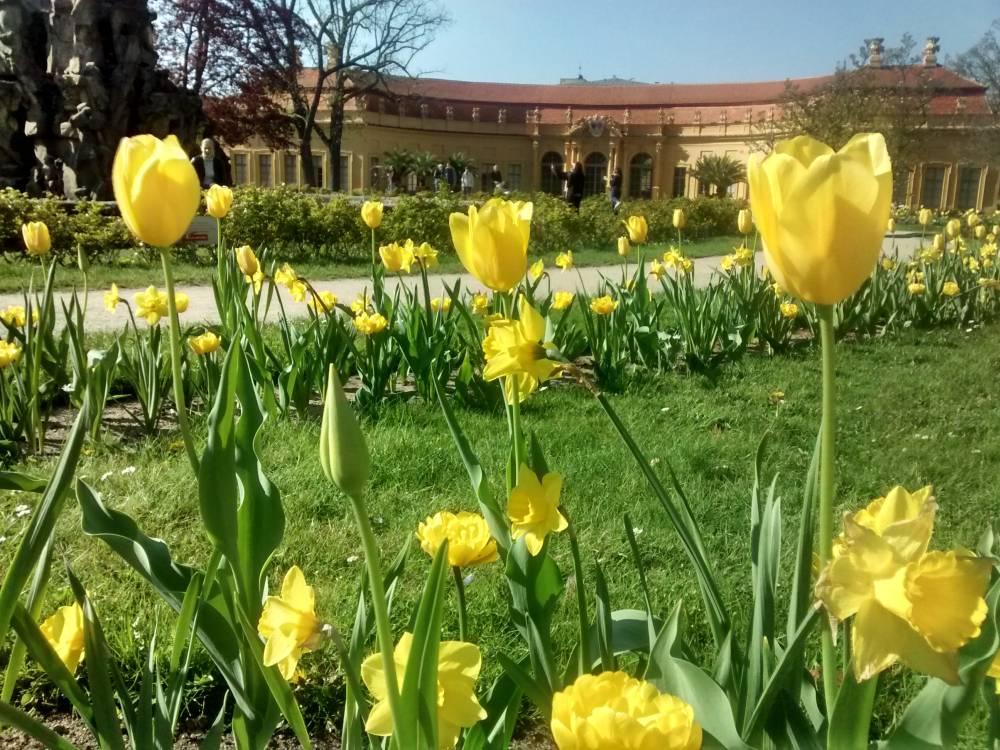 Gelbe Tulpen im Schlosspark Erlangen.