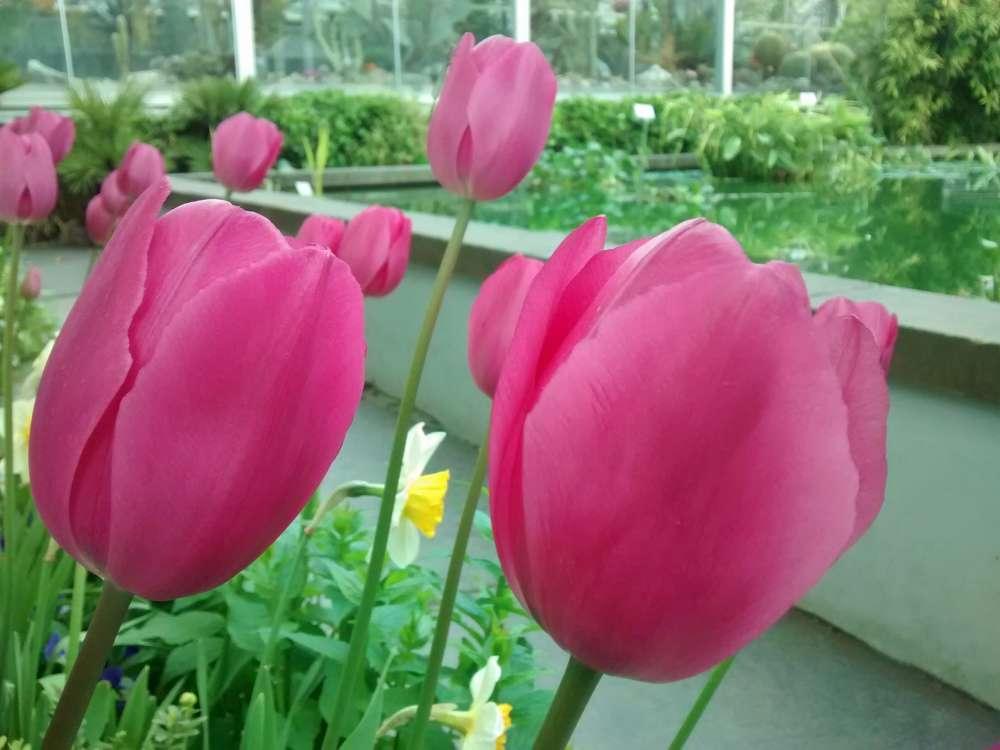 Fotoparade Fopanet Tulpen