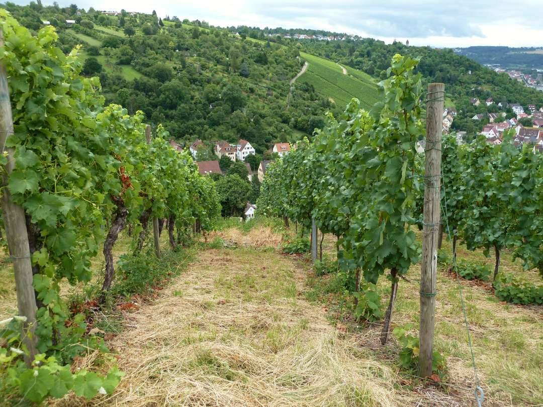 Blick zwischen den Reihen der Weinreben ins grüne Tal.