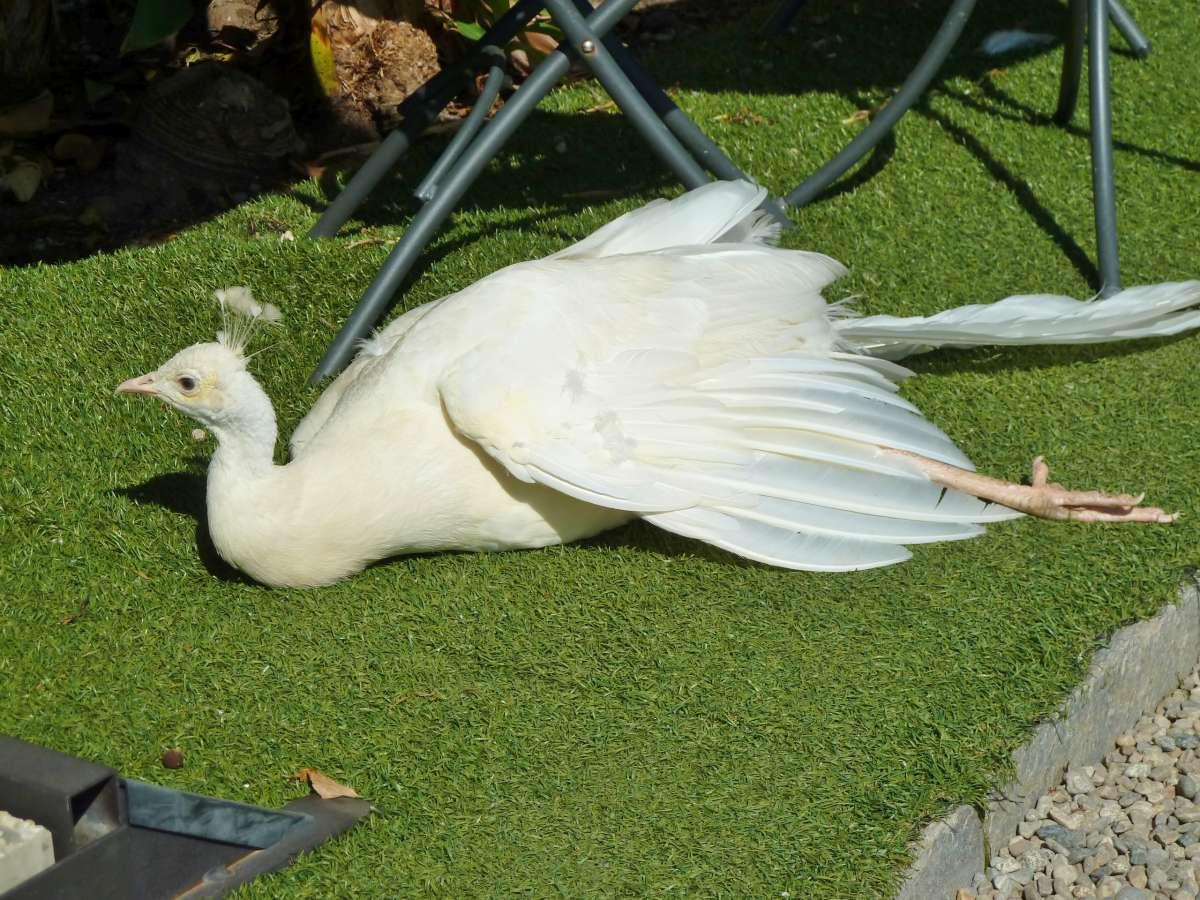 Weißer Pfau liegt auf dem Rasen.