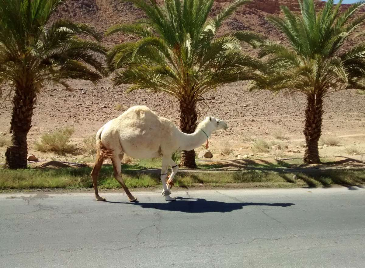 Kamel läuft Straße entlang