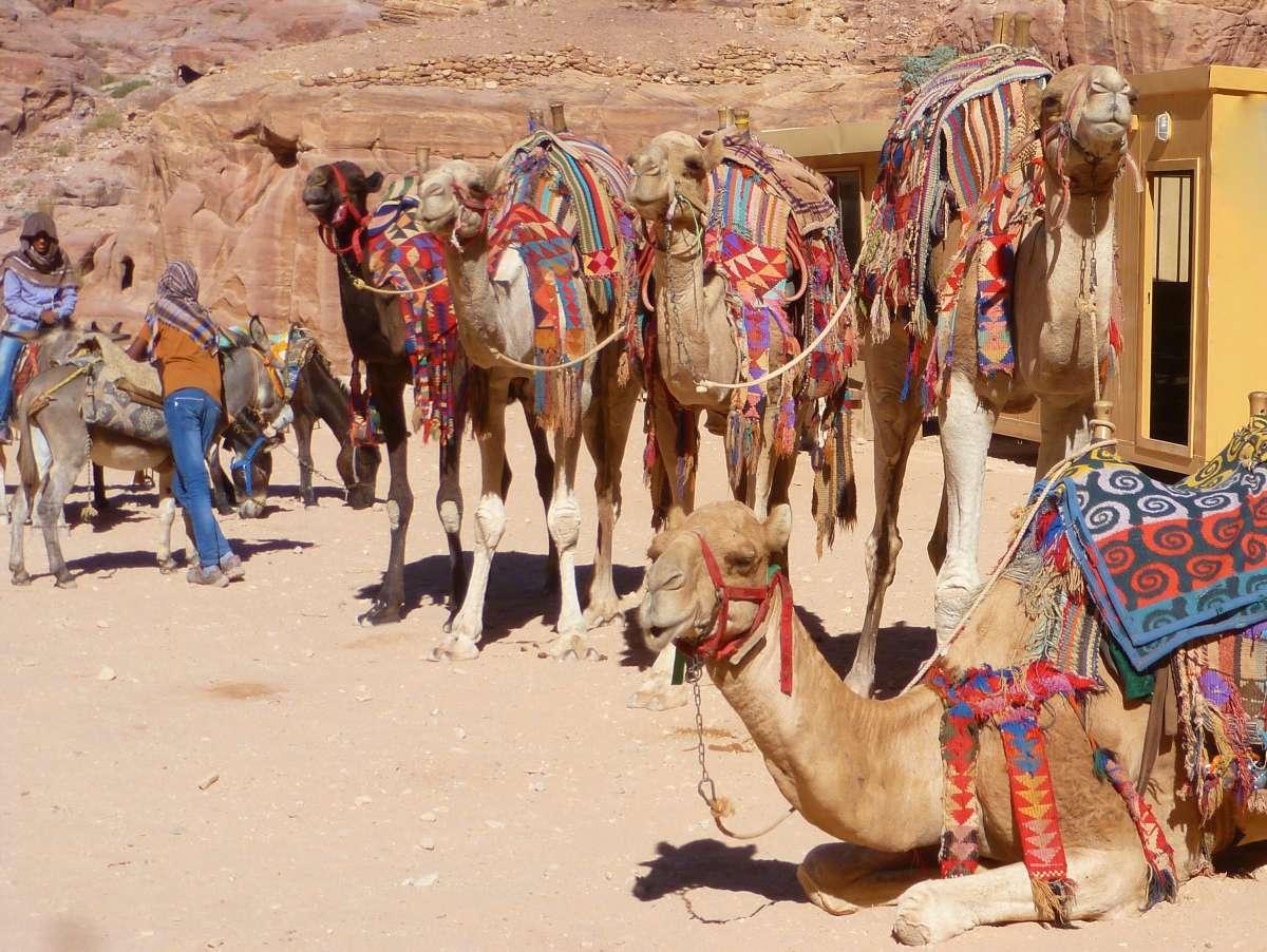 Drei stehende und ein liegendes Kamel in Petra