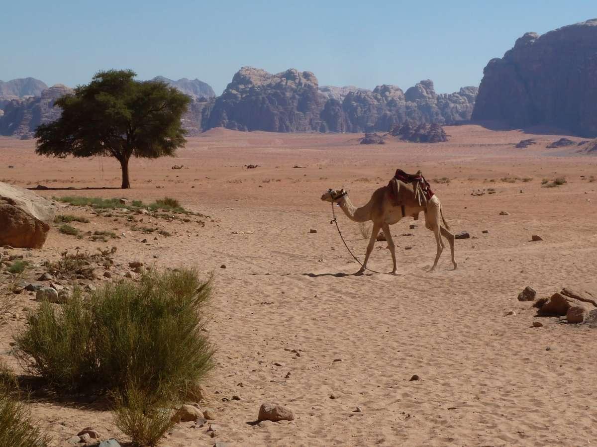 Kamel läuft durch die Wüste
