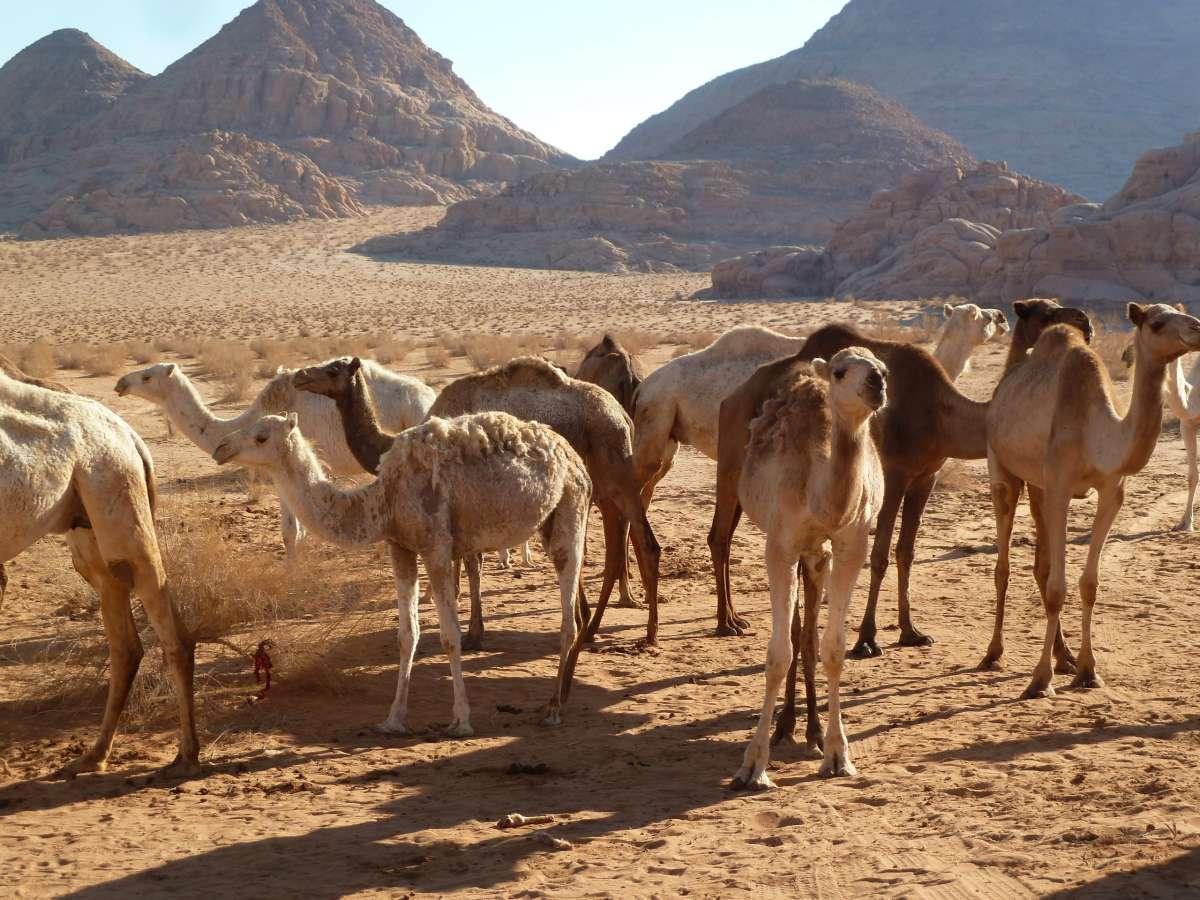 viele Kamele in der Wüste von Wadi Rum