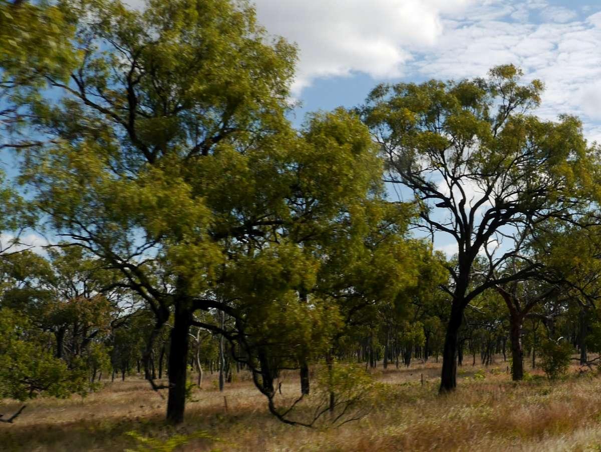 feuergeschwärzte Baumstämme am Straßenrand im Outback
