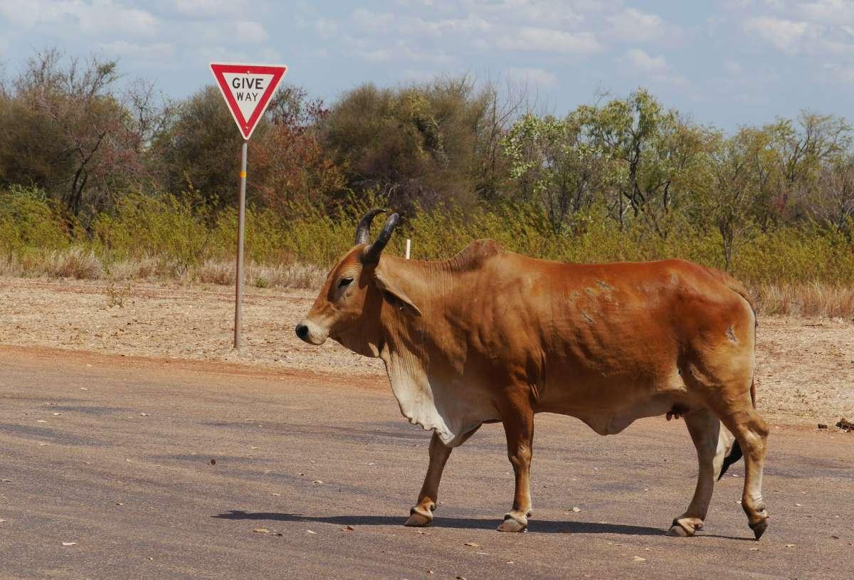 Rind läuft vor Vorfahrt-achten-Schild über die Straße
