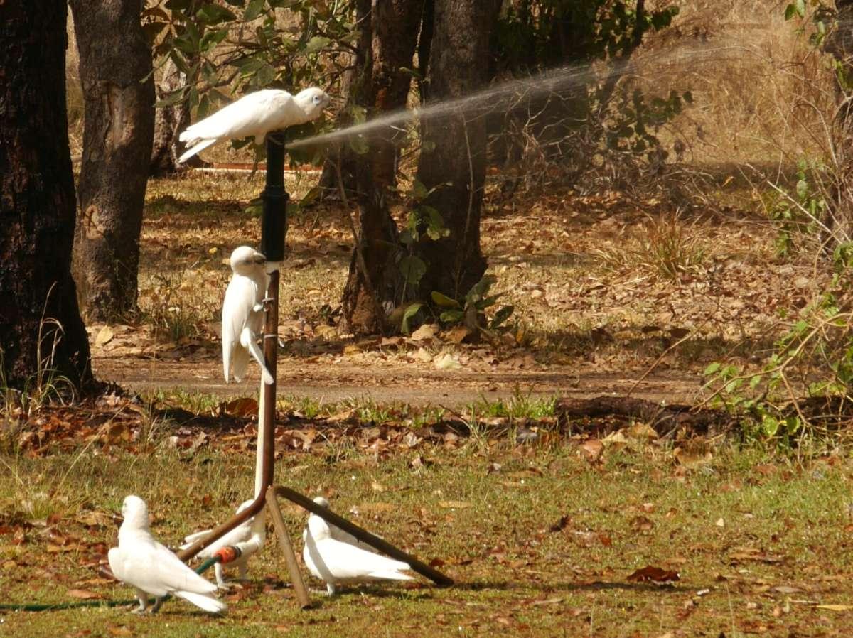 Kakadus an einem Rasensprenger