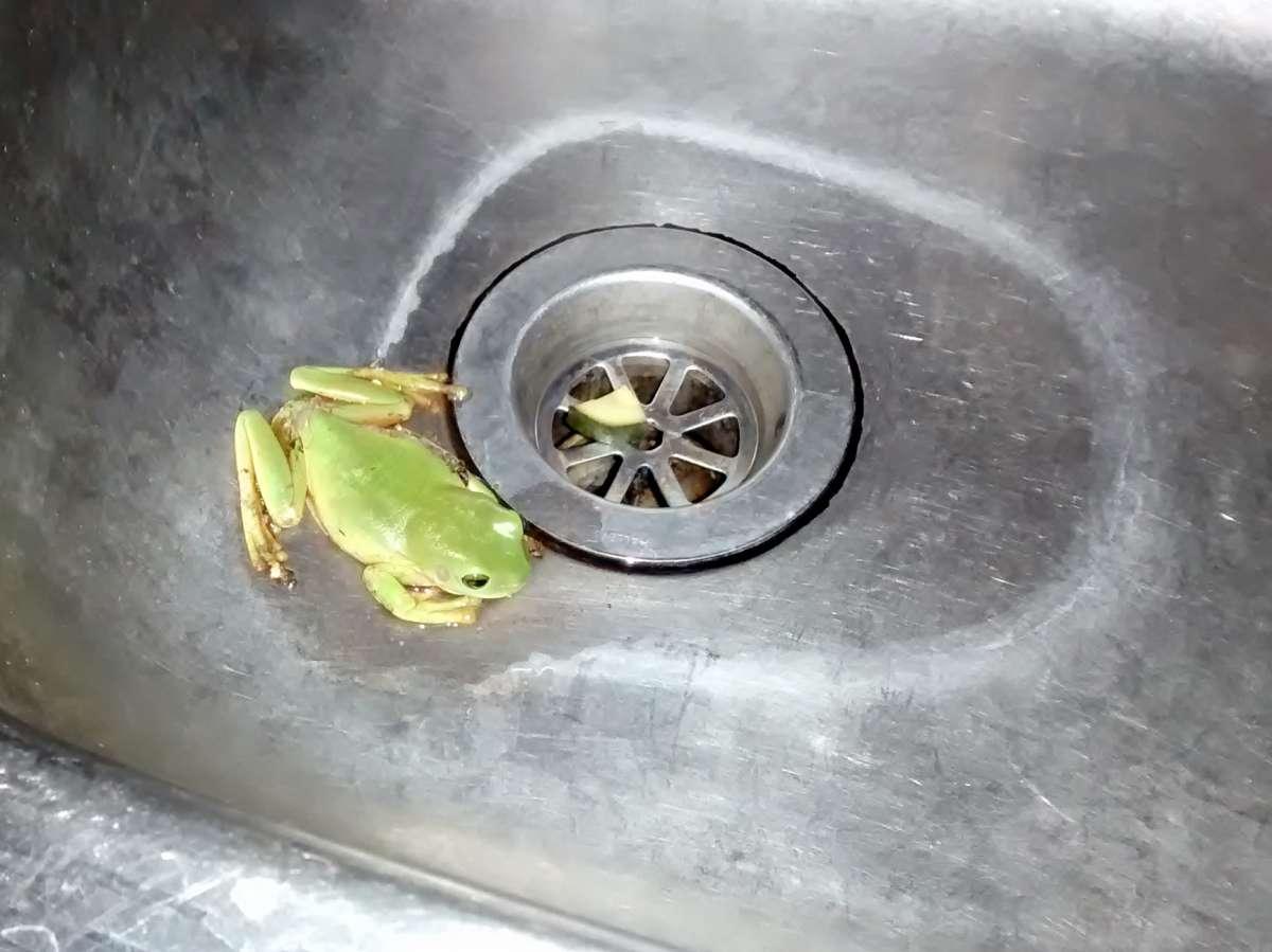 kleiner grüner Frosch in Edelstahlspüle