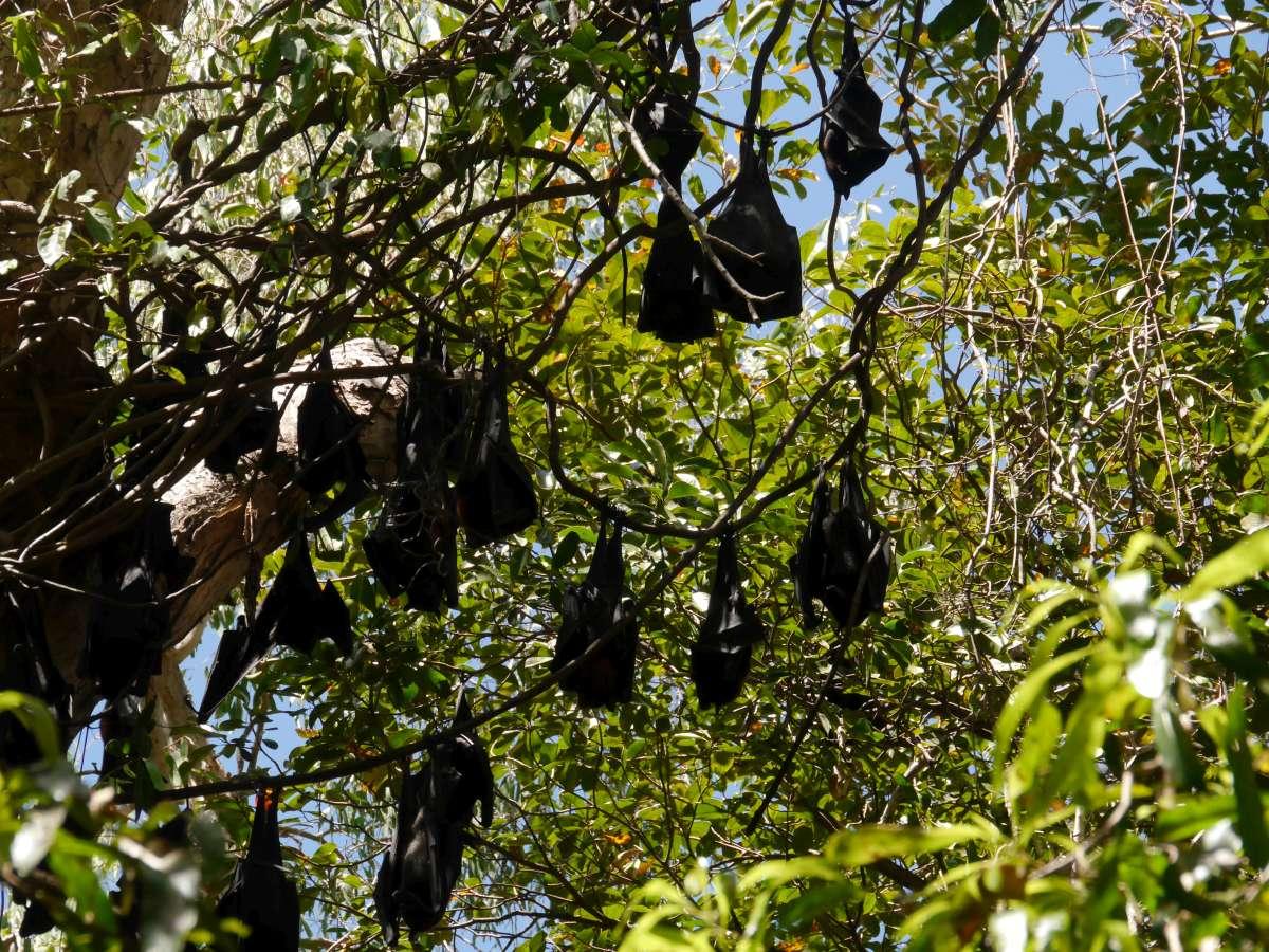 Flughunde im Baum