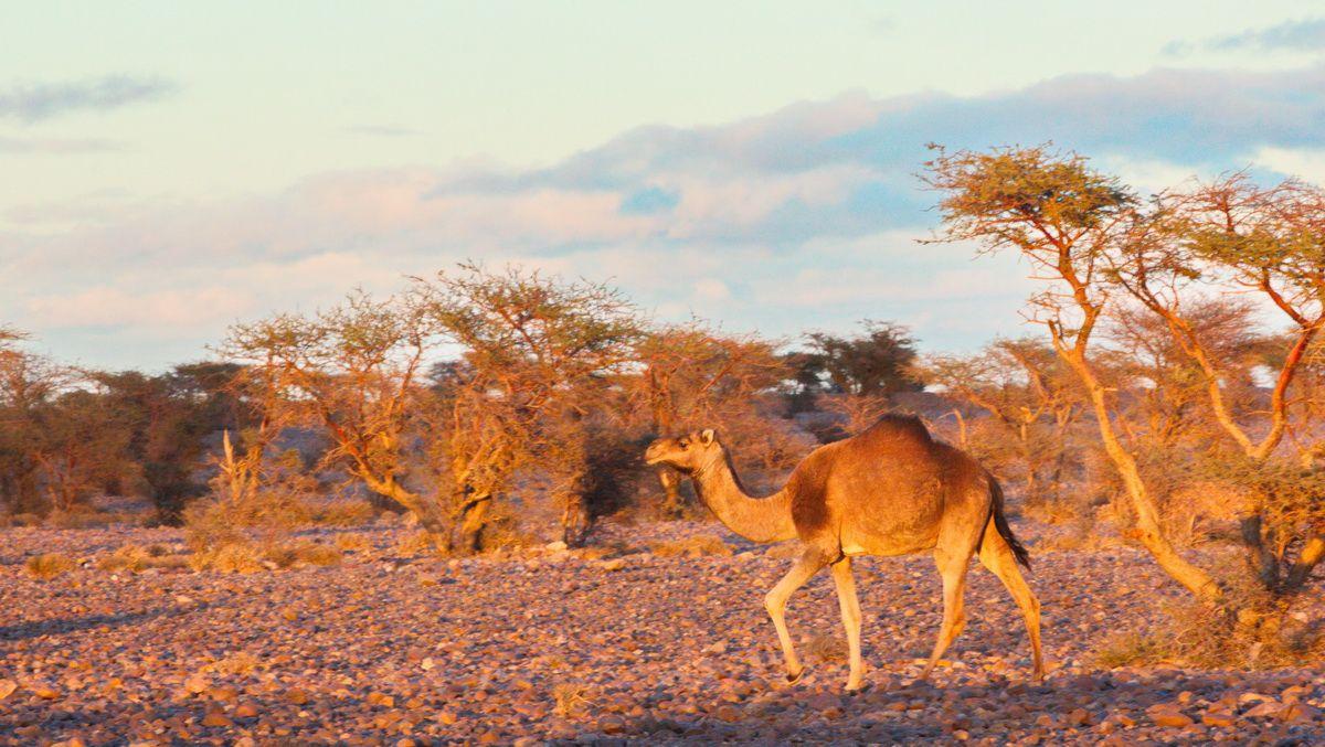 Kamel in der Wüste Marokkos