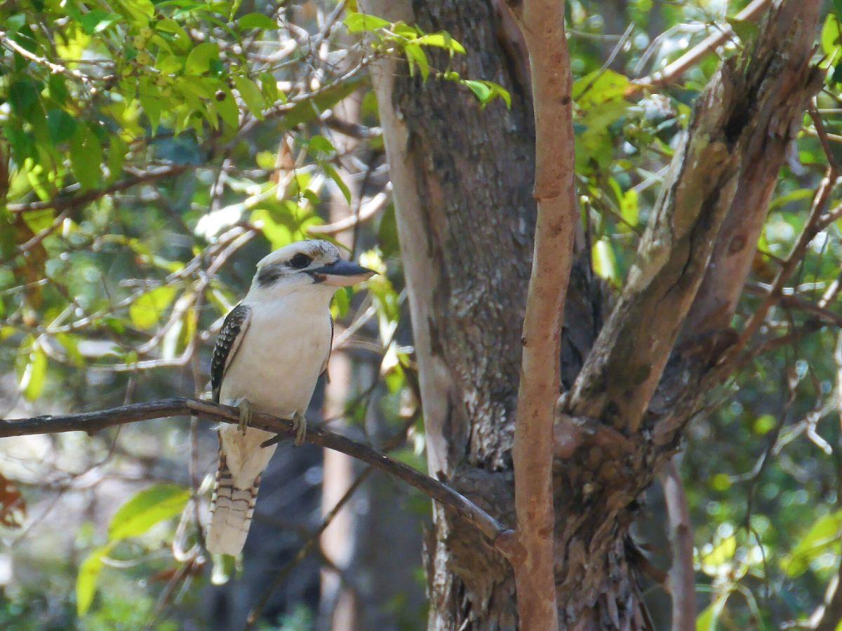 Kookaburra im Baum