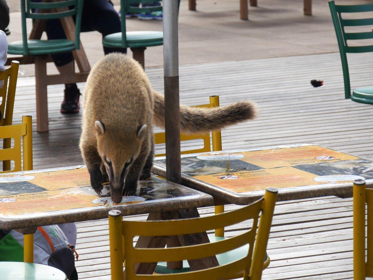 Coati auf Restauranttisch