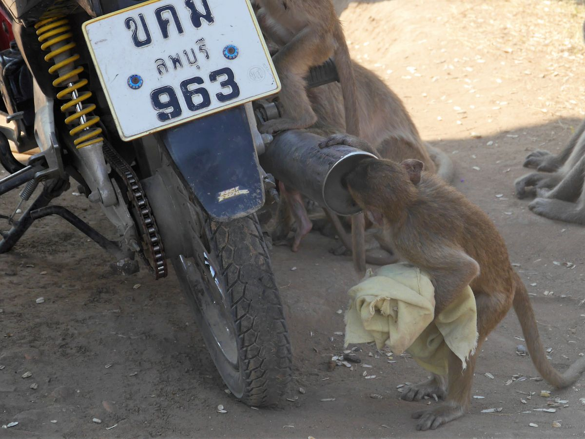 Kleiner Affe schaut in Auspuffrohr des Mopeds