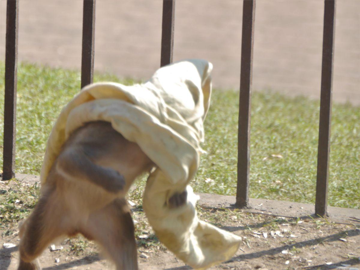 Kleiner Affe zieht sich Tuch über den Kopf
