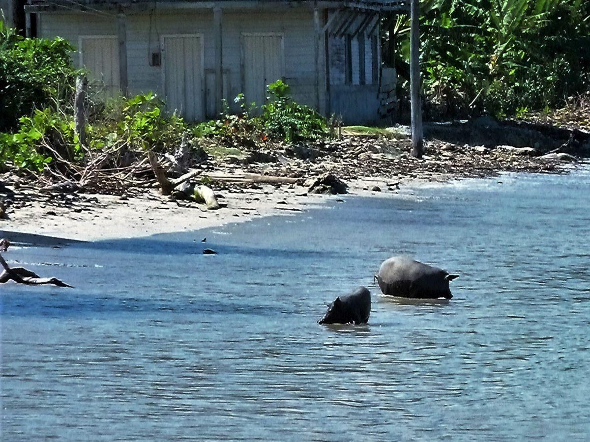 Zwei Schweine im Wasser am Strand