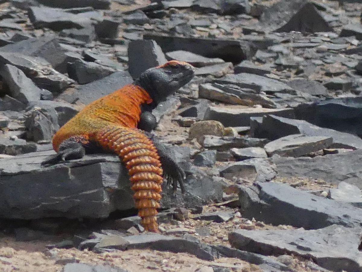 orangefarbene Echse auf schwarzen Steinen
