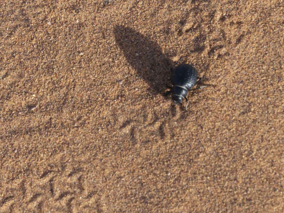 Skarabäus-Käfer