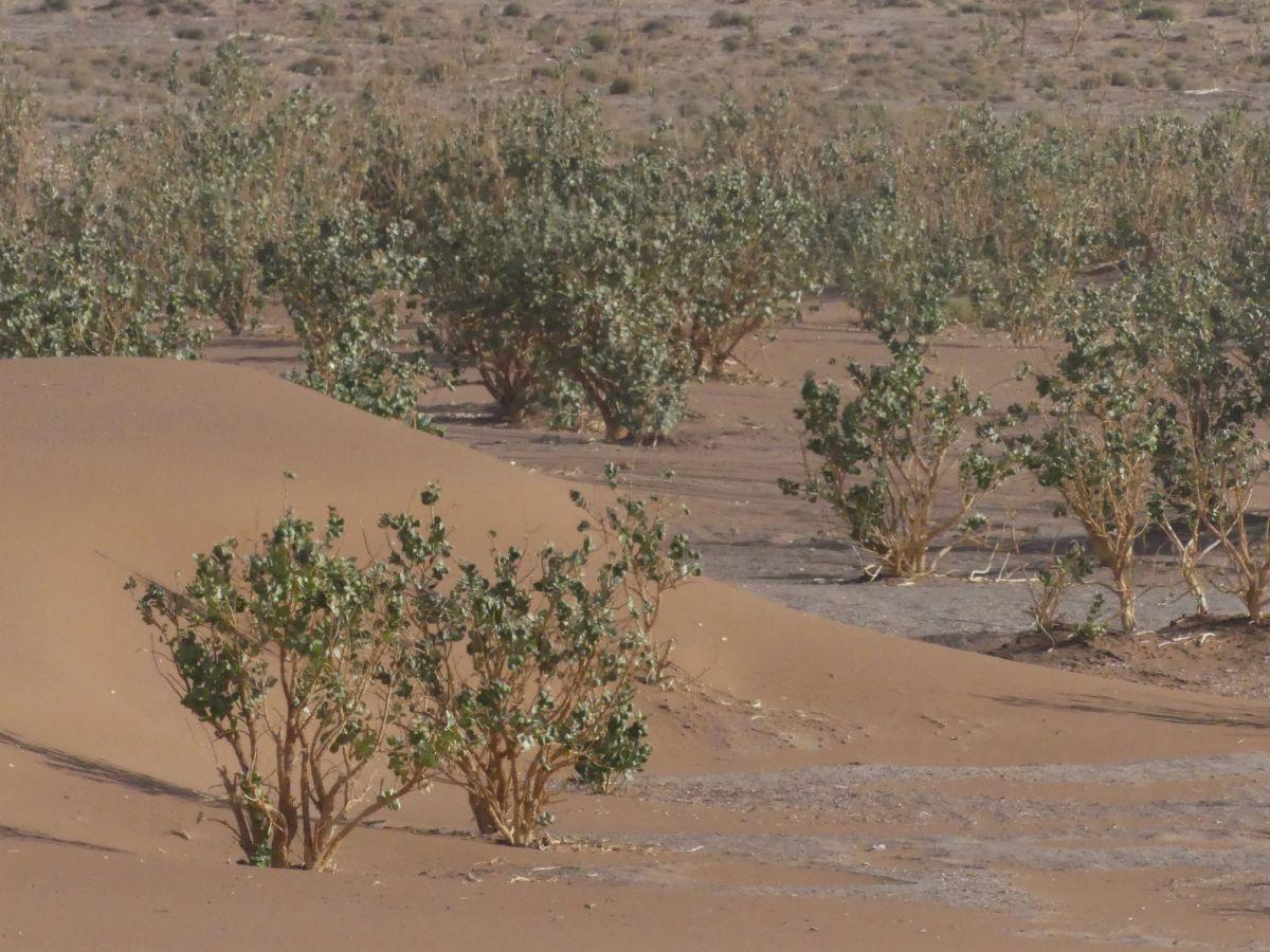 Sukkulenten wachsen im Sand