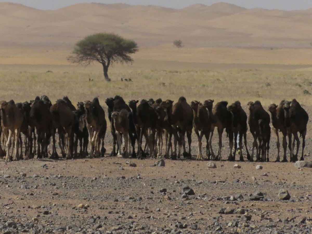 Eine Reihe Kamele kommt auf uns zu