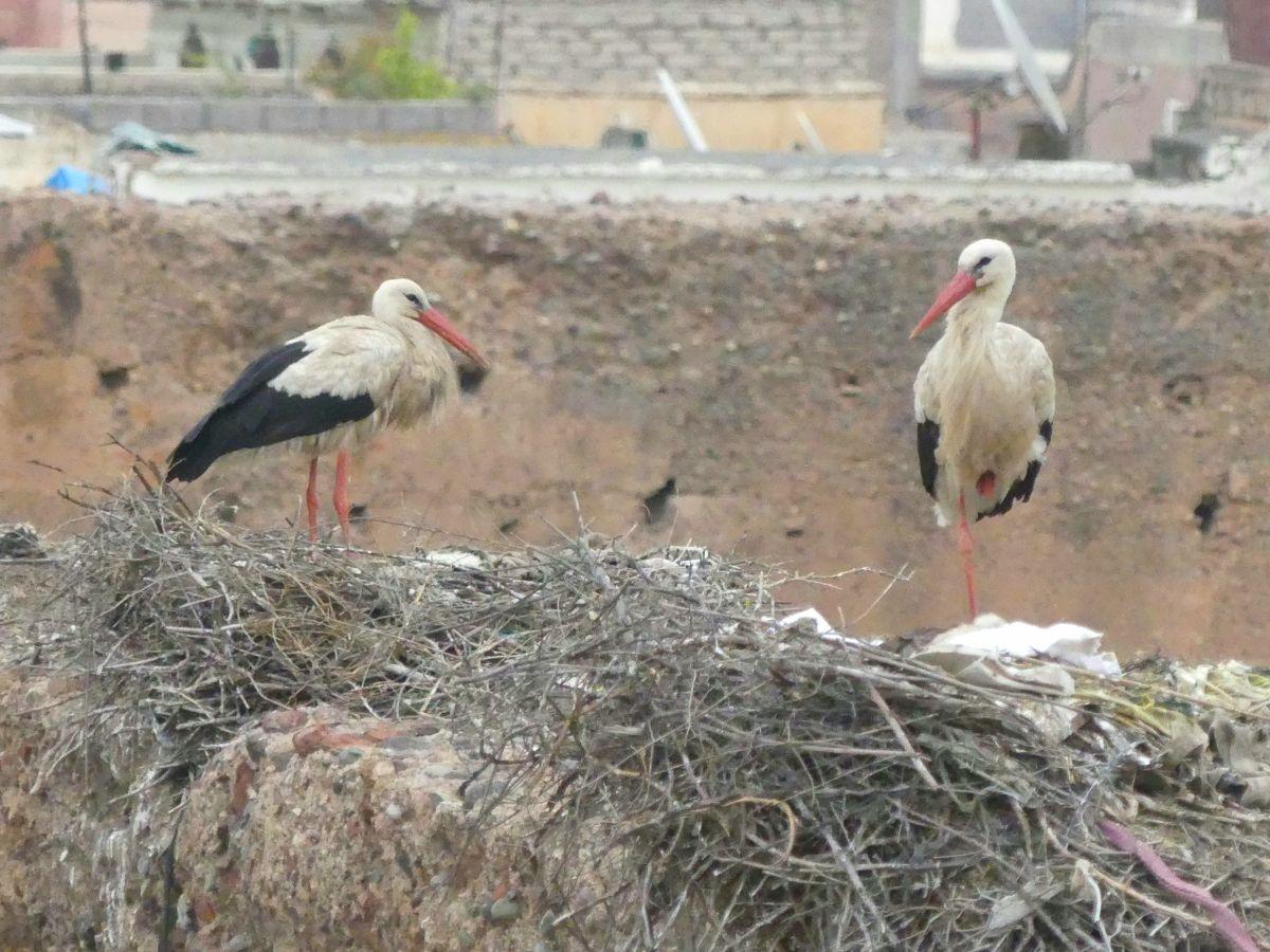 Störche nisten auf den Mauern des El-Badi-Palastes