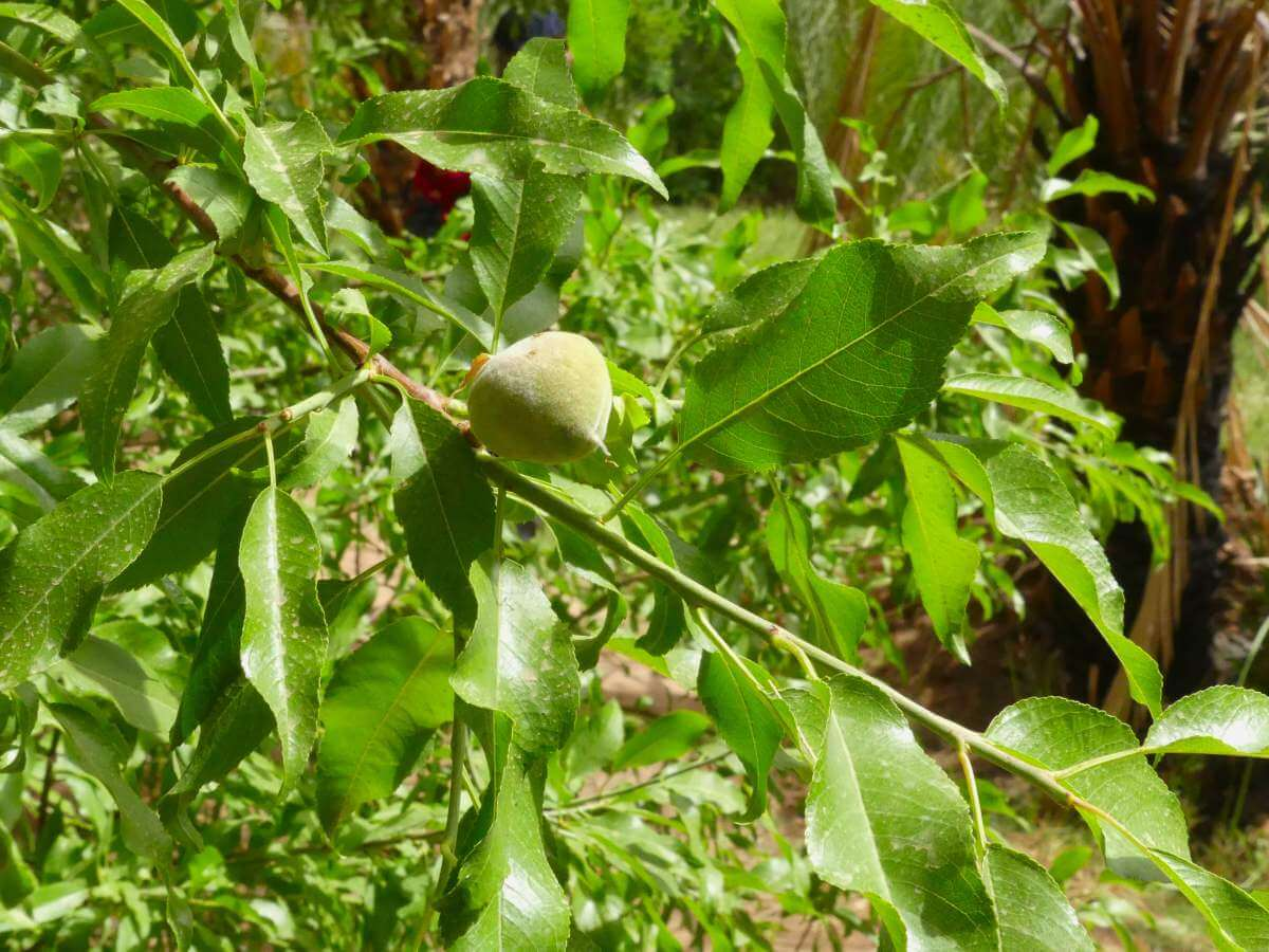 Grüne, pflaumenähnliche Frucht am Strauch.