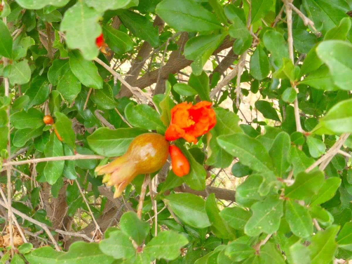 Orangefarbene Blüte mit Fruchtansatz am Granatapfelstrauch.