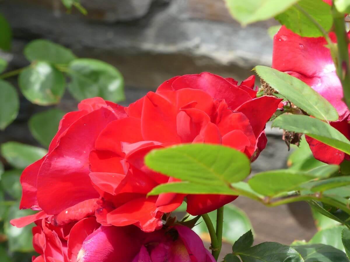 Große rote Rosenblüte