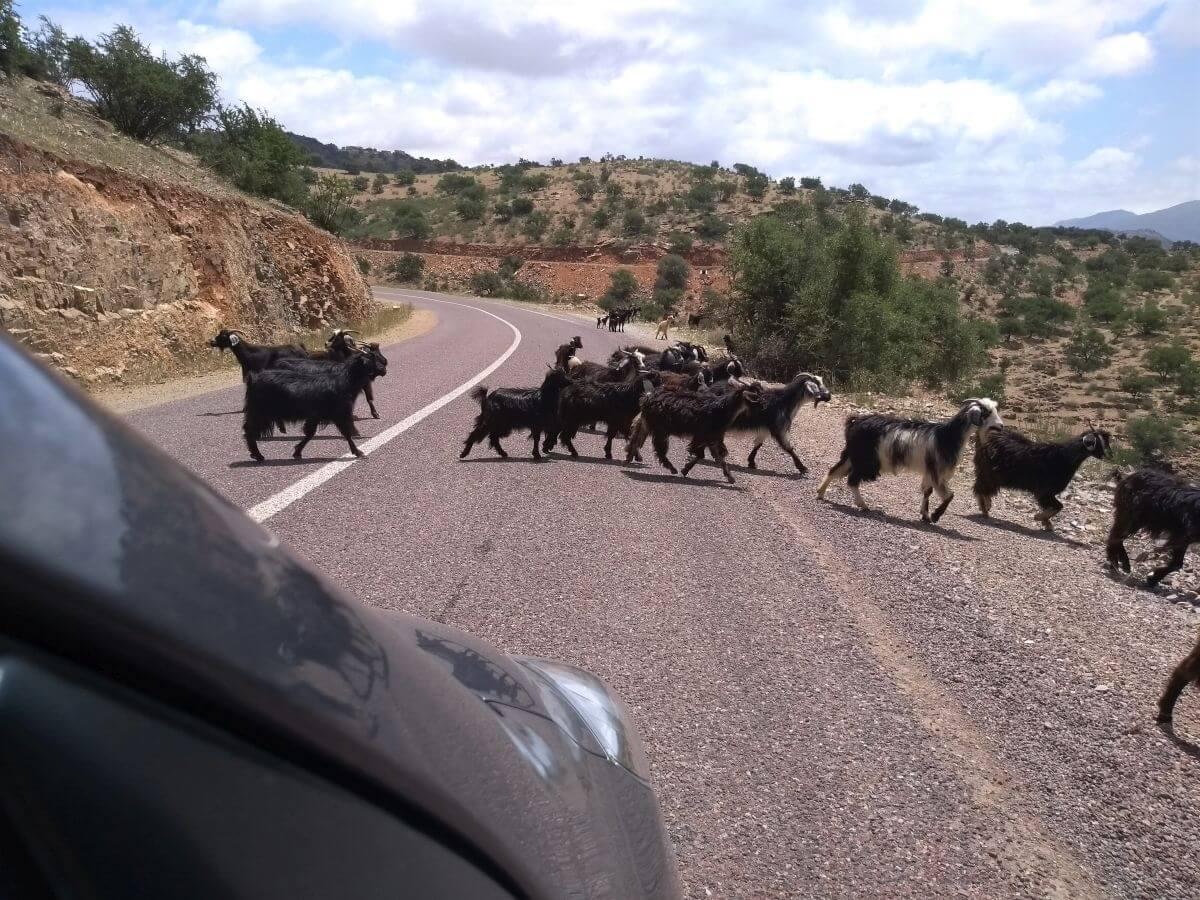 Eine Ziegenherde überquert die Straße