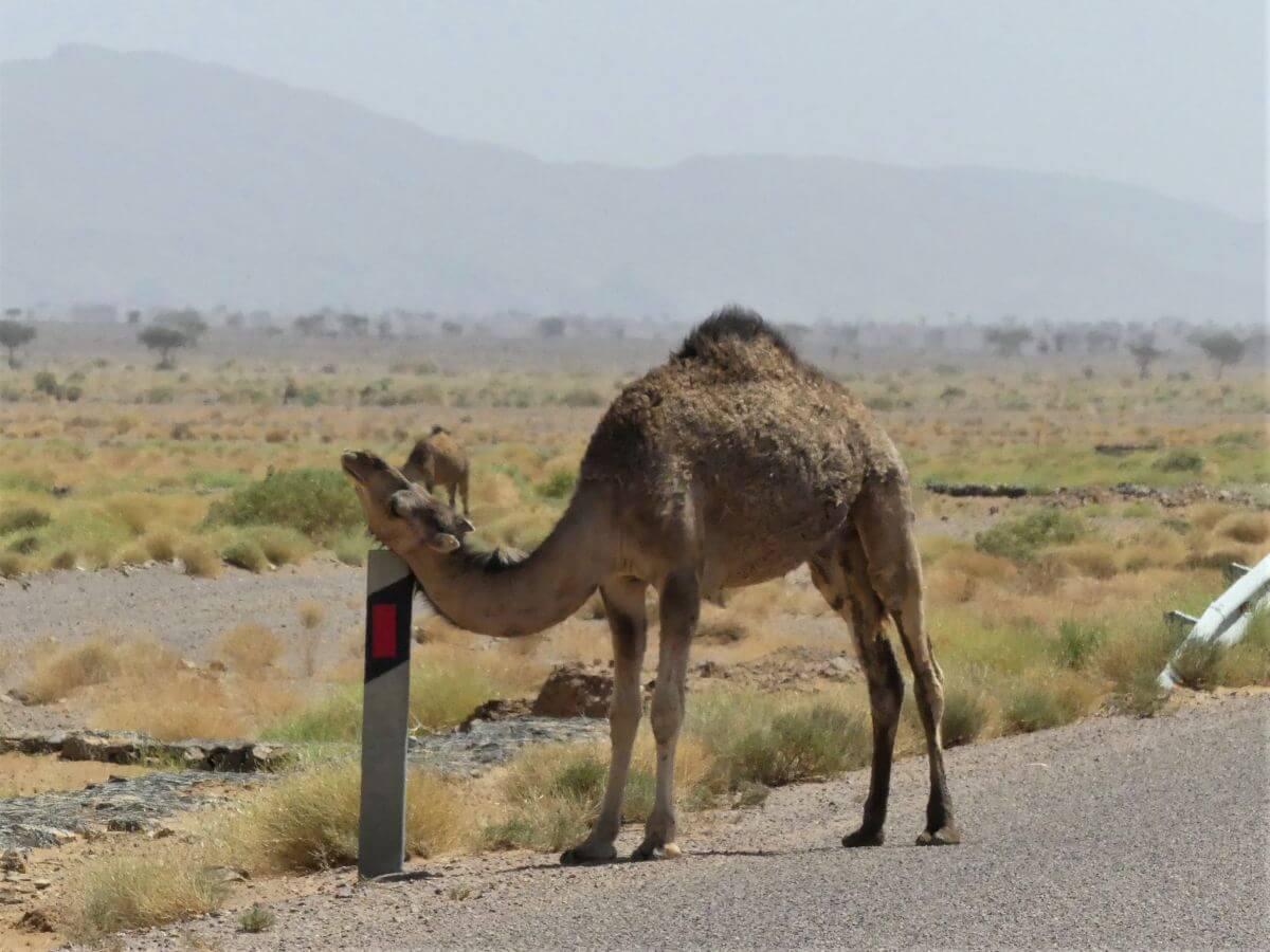 Kamel reibt Kopf an einem Leitpfosten