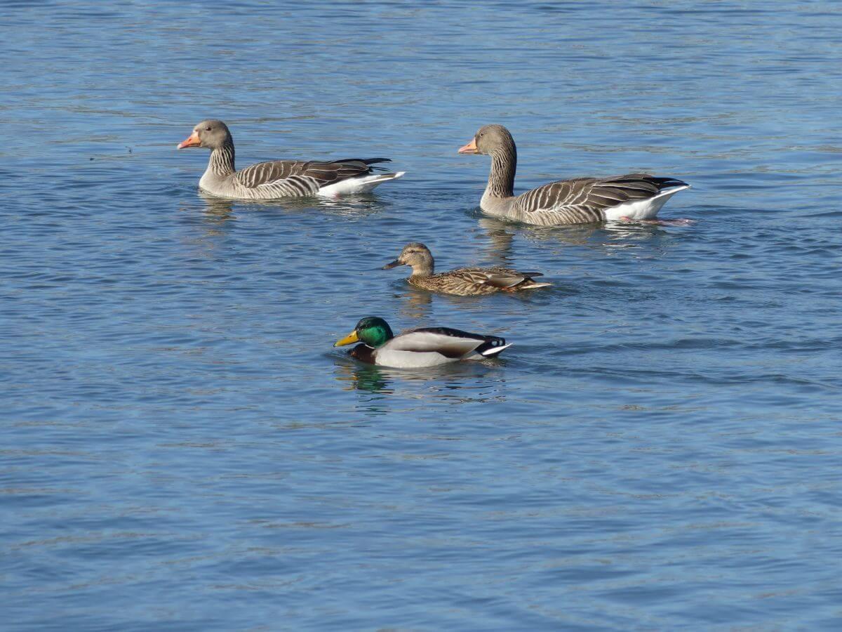 Zwei Gänse und zwei Enten schwimmen zusammen auf der Maas