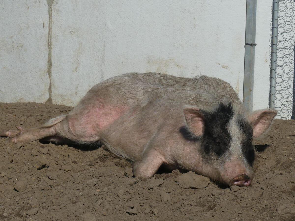 liegendes Schwein
