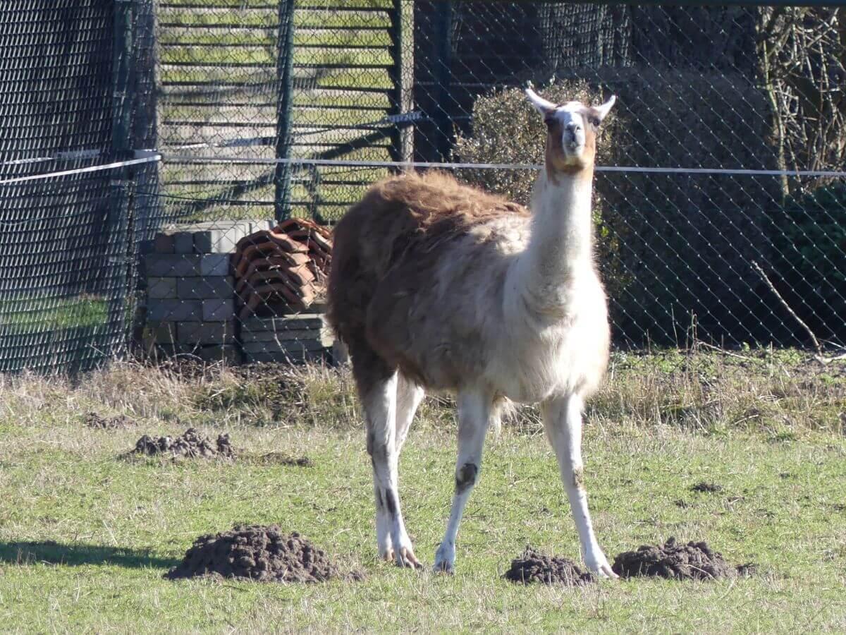 Lama steht auf der Wiese