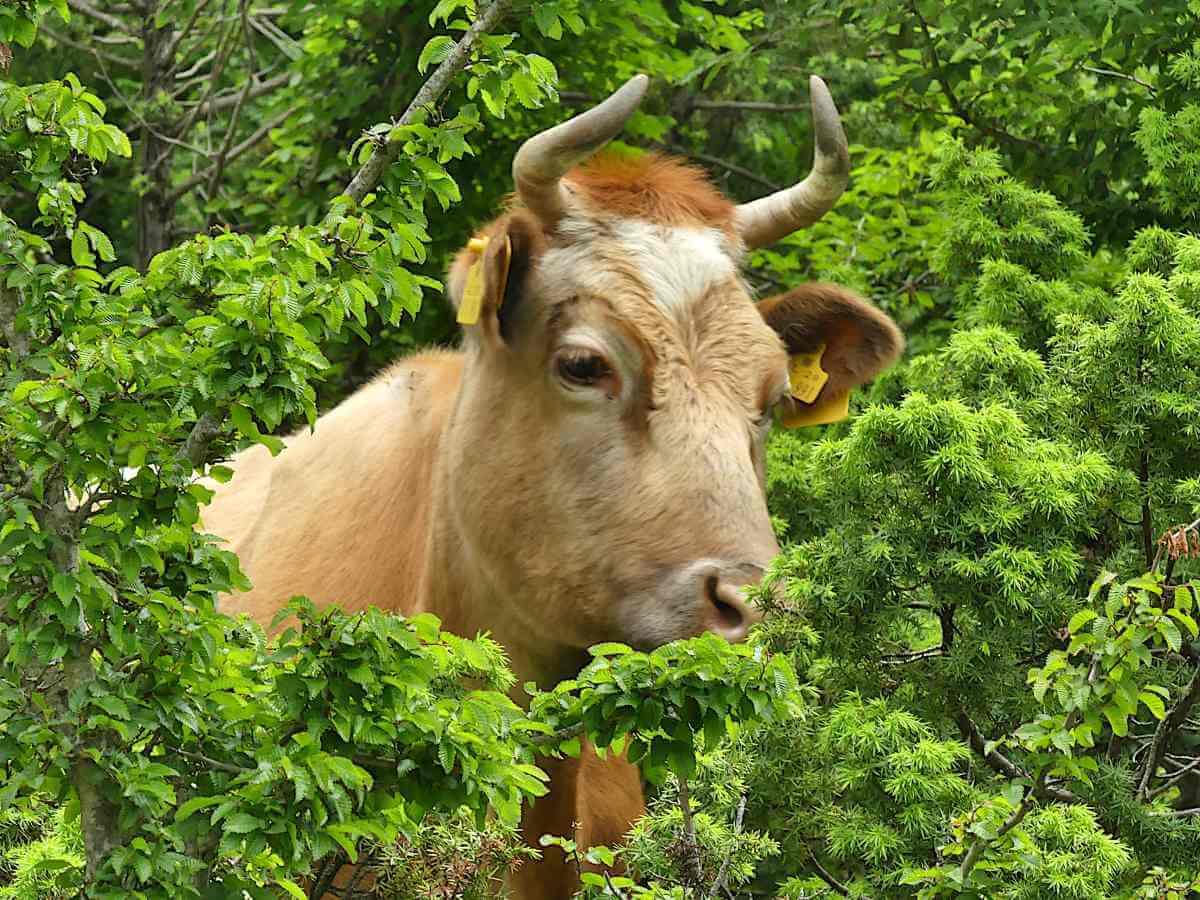 Kuh schaut aus dem Gebüsch.
