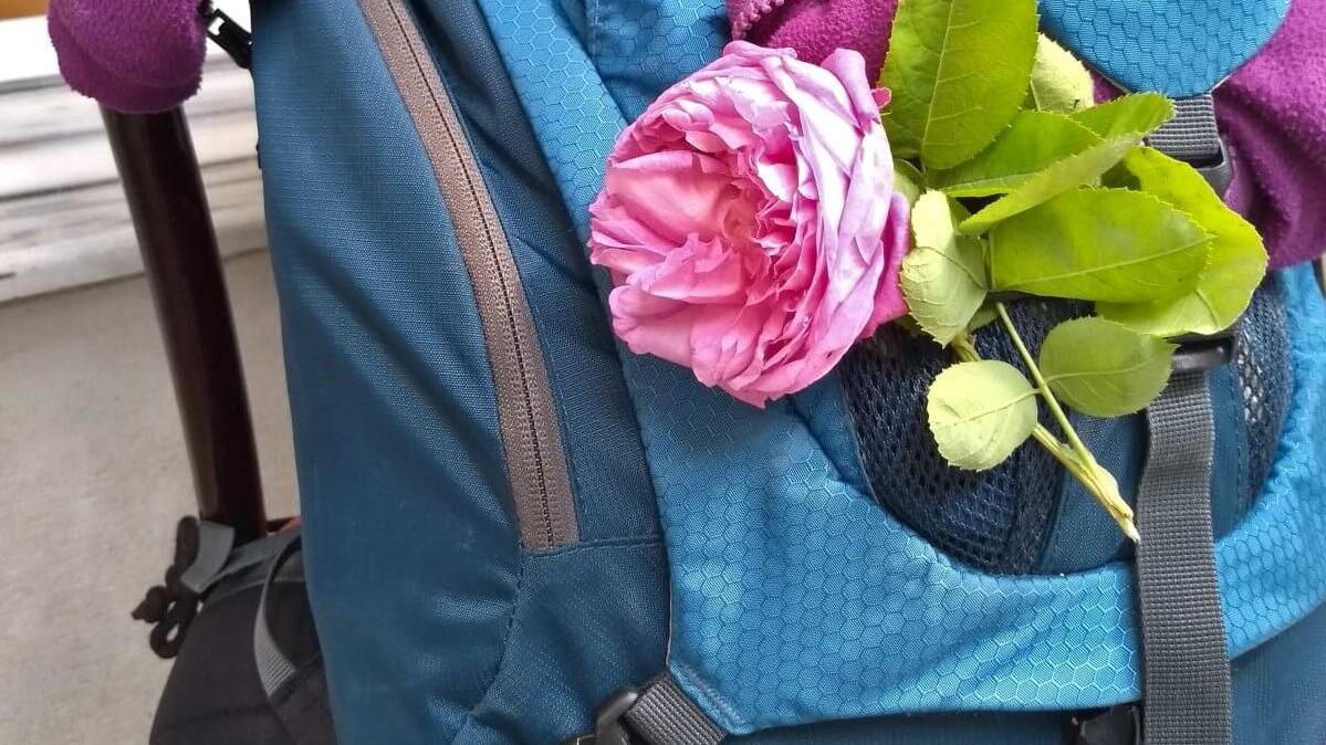 Pinke Rose an blauem Rucksack.
