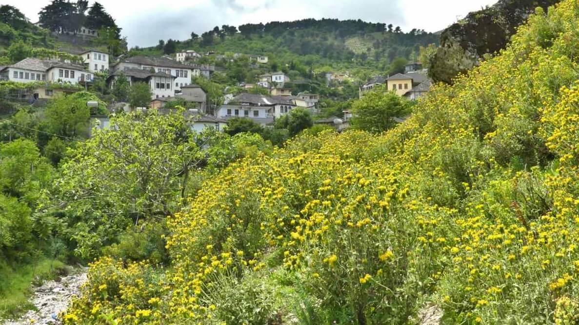 Gelb blühende Büsche entlang des Wegs.