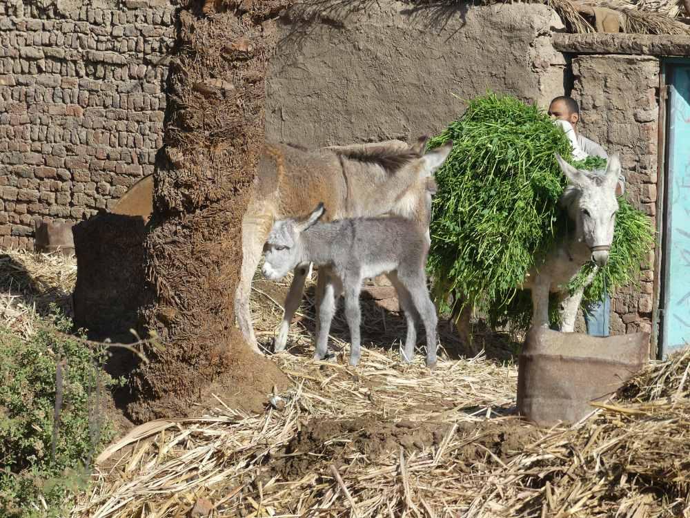 Mann mit Esel und Eselfohlen.