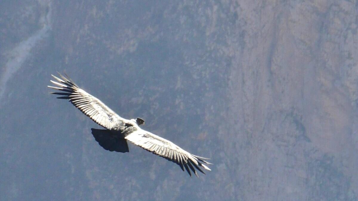 Condor im Flug.