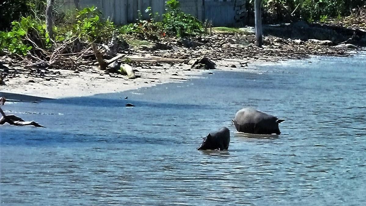 Schweine im Meer auf Kuba.