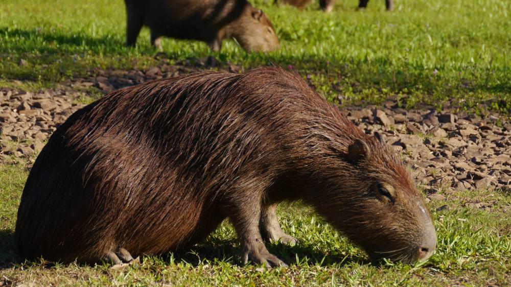 Wasserschwein.