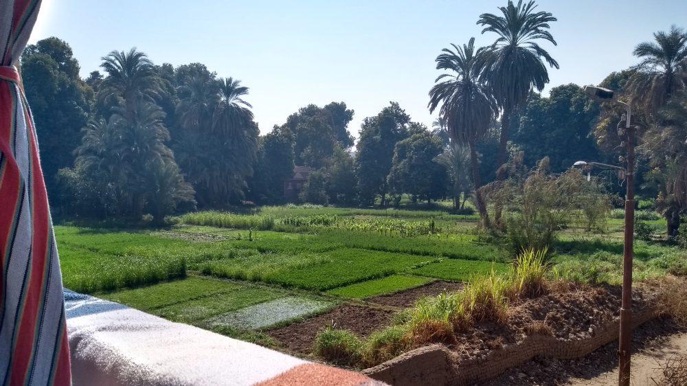 Grüne Felder, umgeben von Palmen.