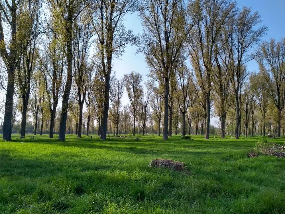 Pappeln auf grünen Wiesen.