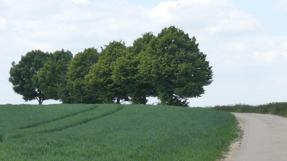 Baumreihe an einem Feld am Niederrhein.