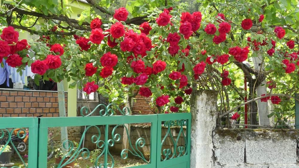 Rote Rosen blühen über einer Mauer in Permet.