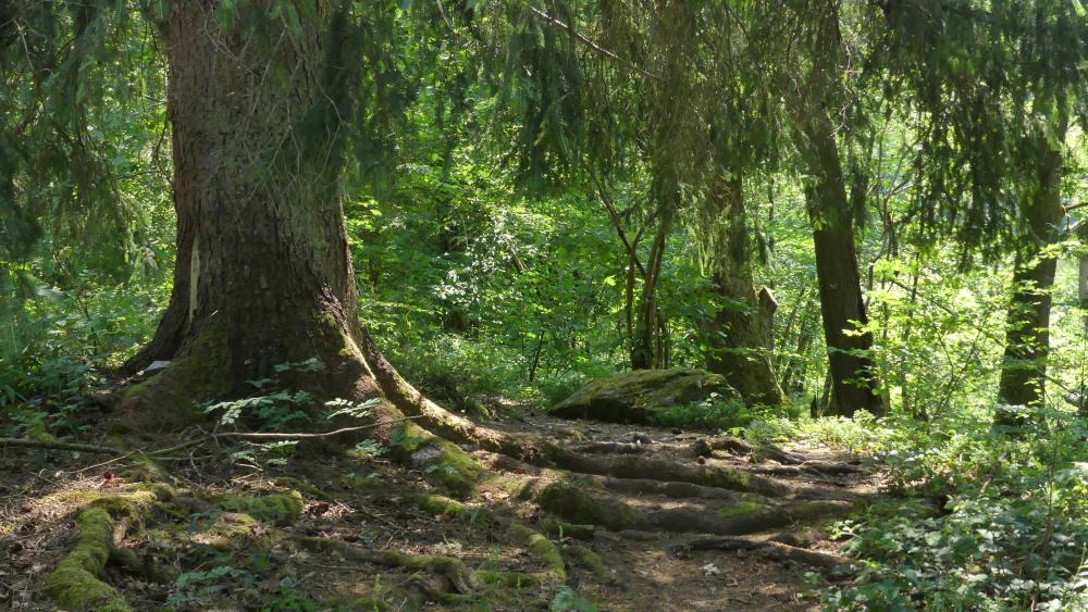 Großer Baum und grüner Wald.