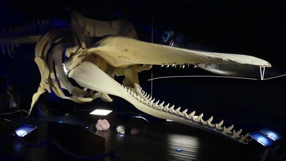 Skelett des Kopfes vom Pottwal mit vielen Zähnen.
