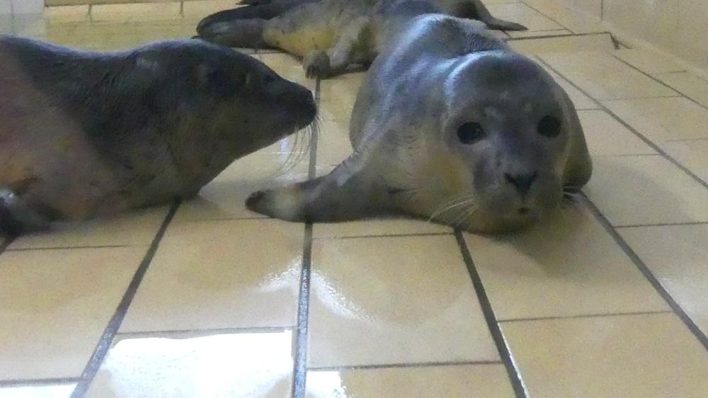 Kleine Seehunde auf Fliesenboden.