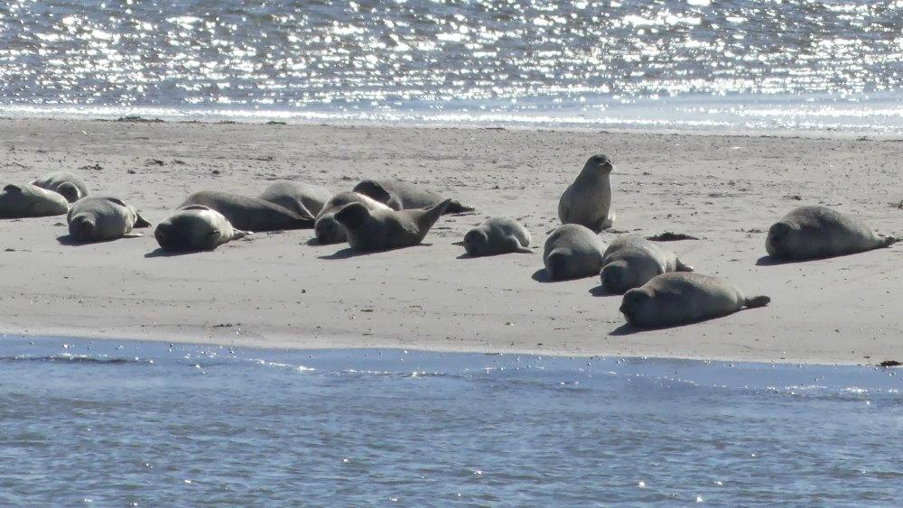 Viele Seehunde liegen auf dem Strand.