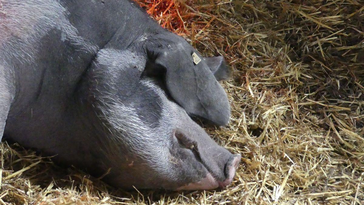 Schlafendes Schwein im Stroh.