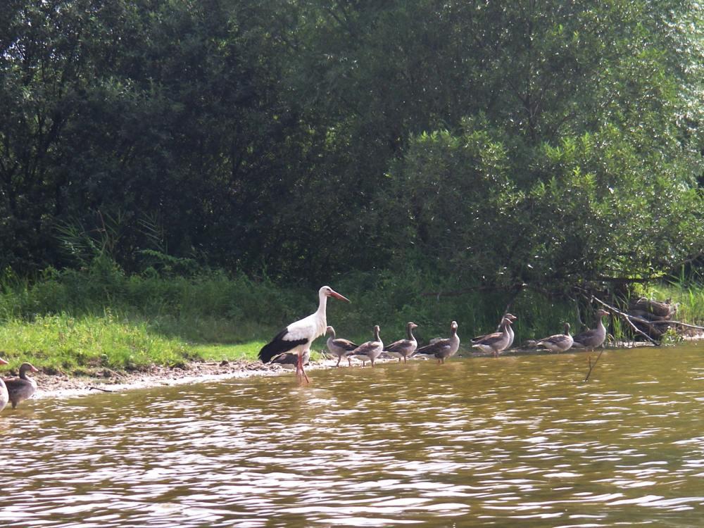 Storch und Gänse am Ufer.